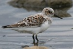 Sanderling - Paul Bagguley