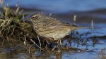 Scandinavian Rock Pipit - Jim Welford