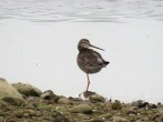 Spotted Redshank - Graham Leach