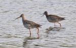 Spotted Redshanks - Dave Hunter