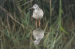 Spotted Redshank - Dave Hunton