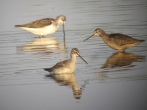 Spotted Redshanks and Greenshank - Rob Dawson
