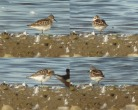 Little Stint - Dave Hunton