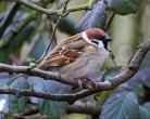 Tree Sparrow - Mick Noble