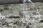 Water Pipit - Alan Tremethick