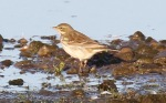 Water Pipit - Dave Hunter