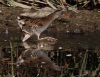 Water Rail - Mick Noble