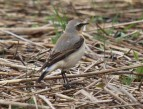 Wheatear - John Brierley