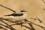 Wheatear - Julian Keeble
