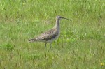 Whimbrel - Paul Coates