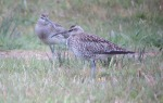 Whimbrel - Rob Dawson