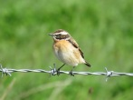Whinchat - Graham Leach