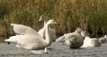 Whooper Swans - Julian Keeble