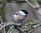 Willow Tit - Mick Noble