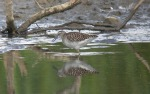 Wood Sandpiper - Dave Hunton