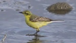 Yellow Wagtail - John Brierley